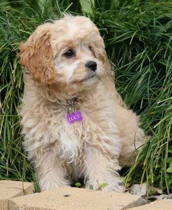 Lucy the Cavapoo is sitting in grass and in front of some cinder blocks. She has a purple bone tag hanging from her collar that says 'Lucy'