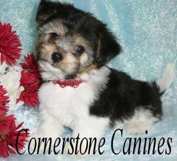 Close Up - Cheenese Puppy standing on a backdrop next to red and white flowers. Its head is tilted to the right. 'Cornerstone Canines' is overlayed