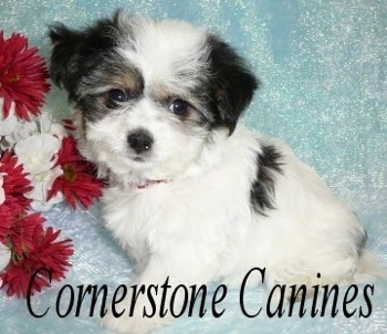 Close Up - Cheenese Puppy standing on a backdrop next to red and white flowers. 'Cornerstone Canines' overlayed