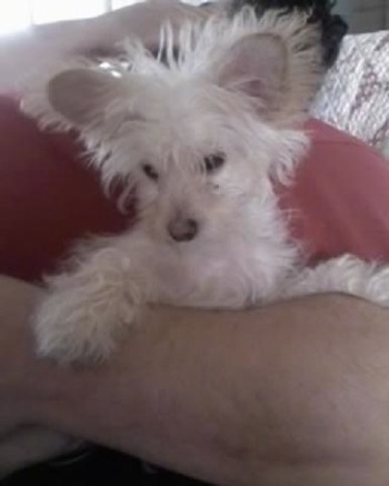Schatzi - Chihuahua / West Highland White Terrier  Hybrid = Chestie