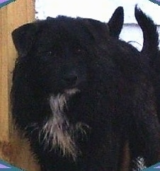 A scruffy looking, black with white Chestie dog is standing next to a door and looking to the right