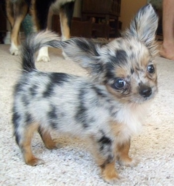 Roxi the Chihuahua puppy is standing on the carpet with its head tilted to the left. A bigger dog is in the background