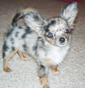 Roxi, a long haired Chihuahua puppy