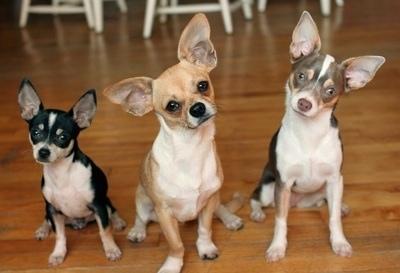 Dog Breeds Chihuahua