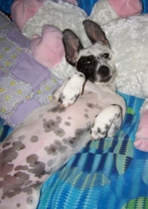 Tinker, the Chihuahua / Dalmatian Hybrid (Chimation) at 9 1/2 months old