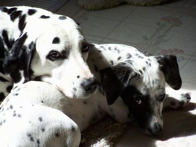 Pixie the Dalmatian laying on a white tiled fllor with her head on Tinker the Chimation