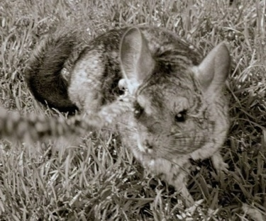A black and white photo of a Chinchilla standing in grass and it is looking up and forward.