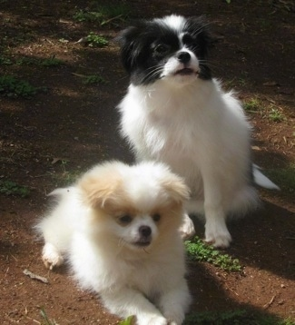Chineranian Puppies