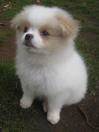 Yuki the Chineranian Puppy is sitting outside and looking to the left