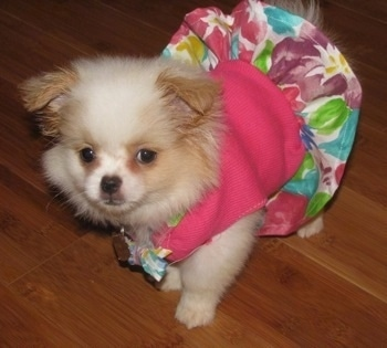 Yuki the Chineranian Puppy is standing on a hardwood floor and wearing a pink flowered dress looking forward