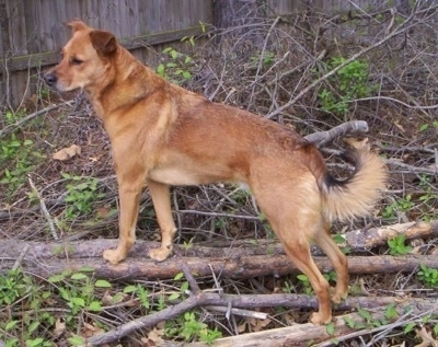 A large breed, tan Chinook mix is standing on a pile of branches and it is looking to the left. It has a curl fringe tail that his being held low.
