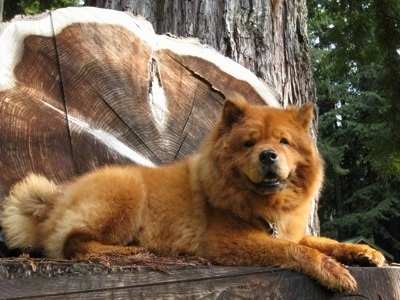 Murphy the red Chow Chow is laying on a tree stump. There is a fallen and standing tree behind him that looks decorative.
