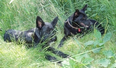 Two black Cierny Sery dogs laying down in grass that is over their heads