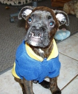 Brosa the Boxer puppy is wearing a blue and yellow jacket. Brosa is sitting on a tiled floor in front of a rig and a computer chair