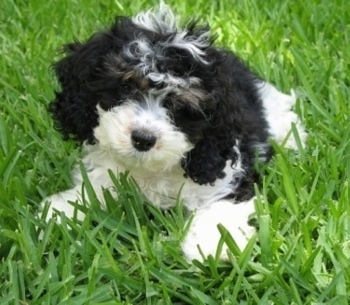 Cockapoo Dog Breed Information and Pictures