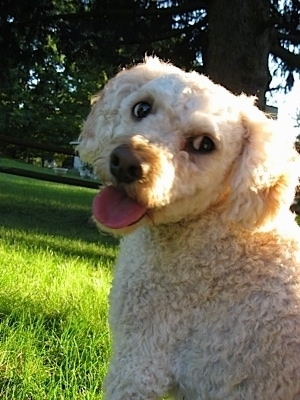 Emily the Cockapoo is sitting outside in a field of green grass looking back at the camera holder with her mouth open and tongue out looking happy