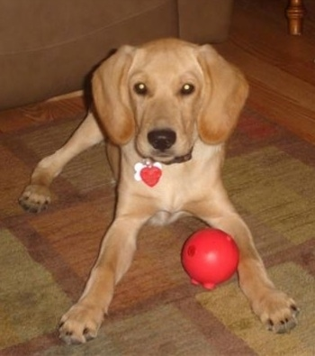 A Golden Cocker Retriever puppy is laying on an earthy colored rug. There is a red ball toy in-between its paws