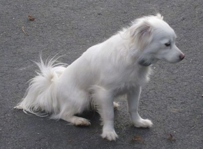 Cote the white Coton Eskimo dog is sitting on a blacktop and looking forward