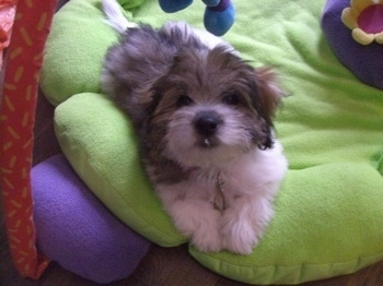 Anya a tri-colour Coton de Tulear Puppy is laying on a green flower stuffed baby mat