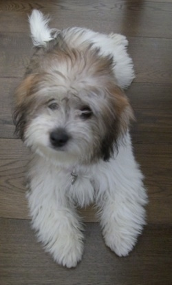 Anya The Tri Colour Coton De Tulear Puppy Is Laying On A Hardwood Floor And