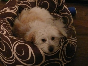 Anya the tri-colour Coton de Tulear is laying down on a brown with white pattered dog bed and looking up