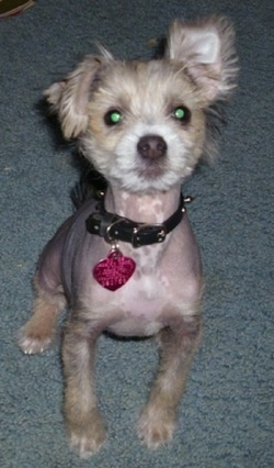 Onyx the hairless Crested Schnauzer puppy wearing a black collar with a pink dog tag hanging from it sitting on a blue-gray carpeted floor and looking up