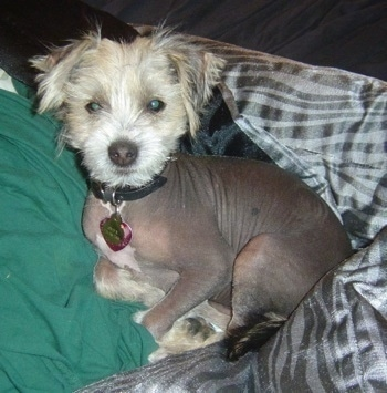 Onyx the hairless Crested Schnauzer puppy is laying on a bed next to a green pillow and a shiny gray comforter