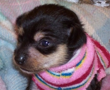 Close Up - Tiny Puppy Tales Raisinet the Crestoxie is wearing a sweater with a myriad of bright colors and sitting on a blanket