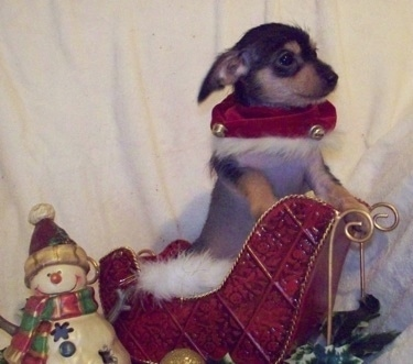 Tiny Puppy Tales Raisinet the Crestoxie Puppy is standing against a mini santas sleigh with a snowman decoration next to it