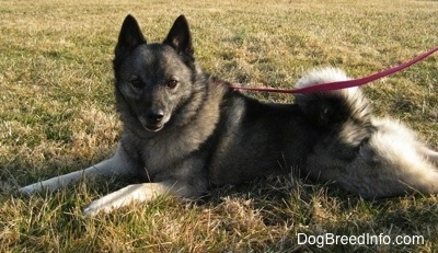 The left side of a gray with black Norwegian Elkhound that is laying on grass while wearing a leash
