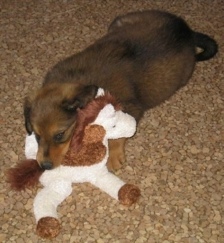 Smokey the Dakotah Shepherd as a puppy is laying down on a brown floor top of a pony plush doll