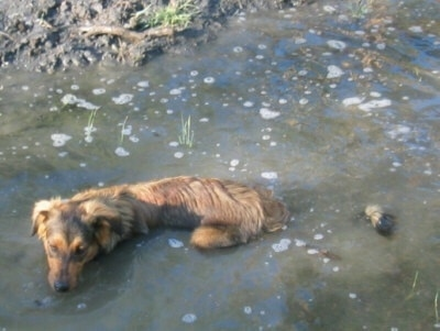 Smokey the Dakotah Shepherd is laying down in a body of water