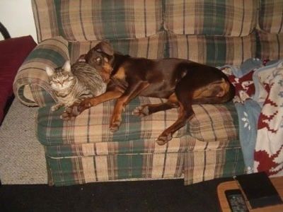 Ruka the red and tan Doberman is laying on a green and tan plaid couch on top of a tiger cat