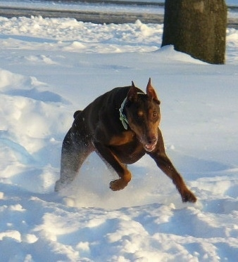 Tia the red and tan Doberman is running through a large amount of snow with a tree behind him