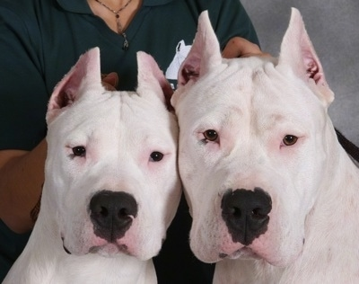 Close Up head shots - Kilo and Facon the Dogos are sitting side by side and there is a person behind them