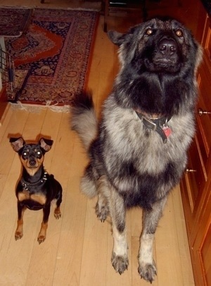 A gray and black Shiloh Shepherd is sitting next to a black with brown Min Pin on a hardwood floor and they both are looking up.