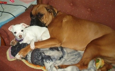 The left side of a brown with black Boxer and a white JackChi that are cuddled together on top of a blanket on a couch