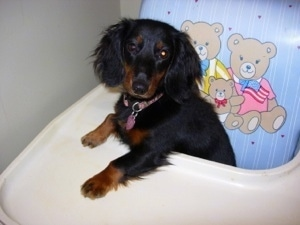 Francis the Long Haired Miniature Dachshund sitting in a highchair with his paw on the tray
