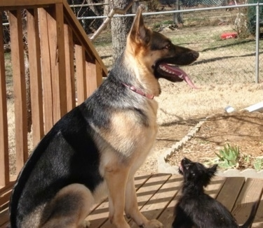 The right side of a black and tan German Shepherd that is sitting on a wooden porch, it is looking to the right and it is panting. There is a black Chorkie puppy sitting in front of it and looking up.