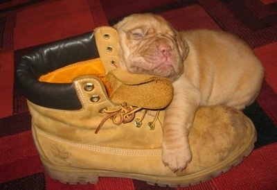 Dogue De Bordeaux Puppy is sleeping on a combat boot