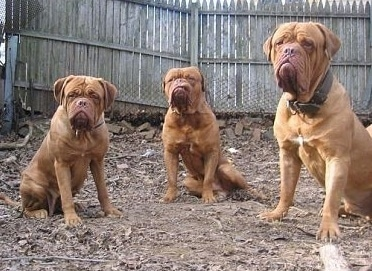 Three Dogue De Bordeauxs sitting in the backyard in dirt with a wooden fence behind them