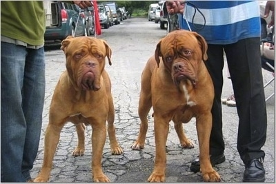 Two Dogue De Bordeauxs are standing outside in the middle of a street