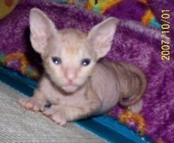 A hairless Donskoy Kitten is jumped up against a wall and looking up