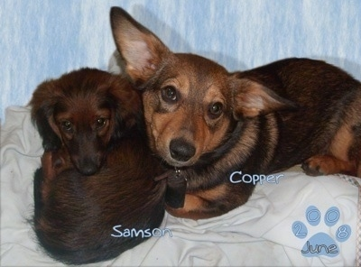 Samson the brown with black tipped longhaired Dachshund and Copper the brown and black Dorgi are laying on a blanket together. The Word - Samson - is overlayed on the Dachshund and the word - Copper - is overlayed on the Dorgi