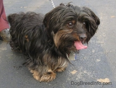 Barney the black and tan Dorkie is standing outside on a blacktop. Its mouth is open and tongue is out