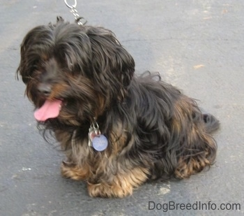 Barney the black and tan Dorkie is sitting outside on a driveway. Its mouth is open and tongue is out