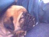 Close Up head shot - A Doubull-Mastiff puppy is sleeping on a black leather couch