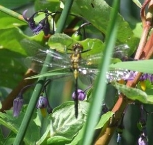 Close Up - Dragon Fly landed on plants at White Lake, Ontario Canada