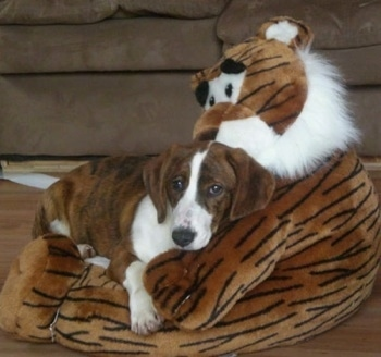 Bindy the brown brindle and white Drever puppy is laying down on a large plush tiger doll.