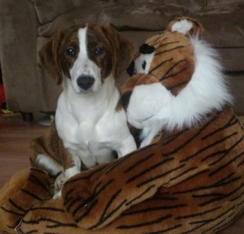 Bindy the brown brindle and white Drever puppy is sitting on a large tiger plush doll. The doll looks like it is hugging Bindy